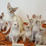 Kittens te koop | 2 nestjes bij Dutch Queens!